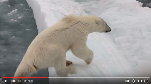 Endangered polar bear ... anecdote for former President Tong, icon for Peter Willcox. Image: Greenpeace video