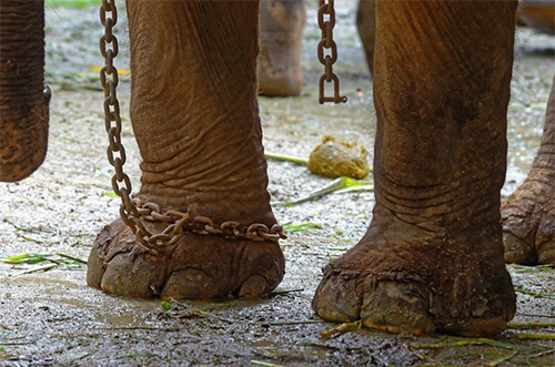 An elephant used for tourist rides or performances being kept in chains behind the scenes. Image: World Animal Protection