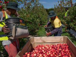 Fruit pickers in NZ