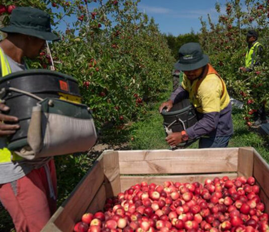 Fruit pickers in NZ