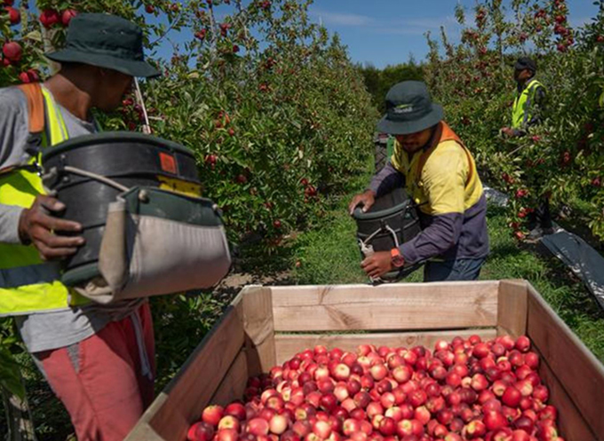 NZ to admit 2000 Pacific horticulture workers under strict conditions